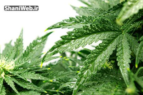 تنگ کردن سریع واژن با گیاه ماریانا